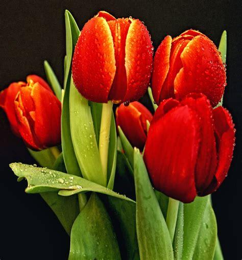 imagenes de flores tulipanes tulipanes rojos flowers pinterest