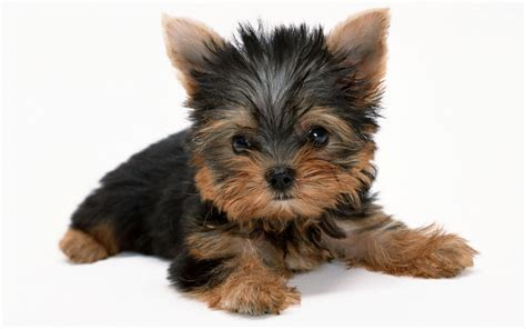 pictures of yorkies with puppy cuts yorkie puppies wallpaper high definition high quality widescreen