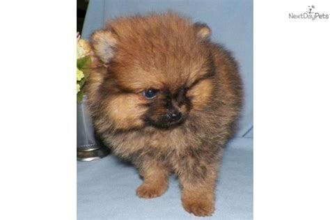 pomeranians for sale in syracuse ny the gallery for gt orange pomeranian puppy