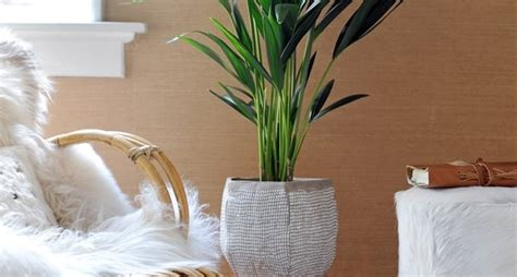 kentia pianta da appartamento kenzia howea forsteriana howea forsteriana piante da