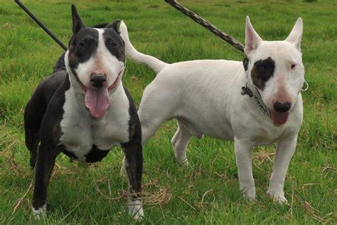 bull terrier bull terrier bull terrier
