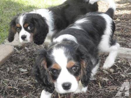 spaniel puppies ohio cavalier king charles spaniel puppies for sale in cincinnati ohio classified