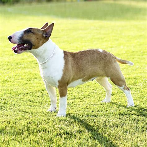 miniature bullterrier puppies breed information puppies bull terrier miniature dog breed health