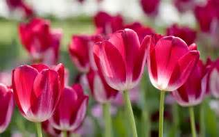 beautiful flowers image tulips most beautiful flowers in the world