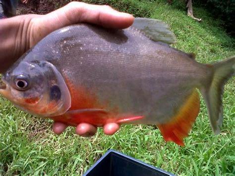 Bibit Ikan Bawal Air Tawar 7 tips memulai usaha bisnis ikan bawal yang harus