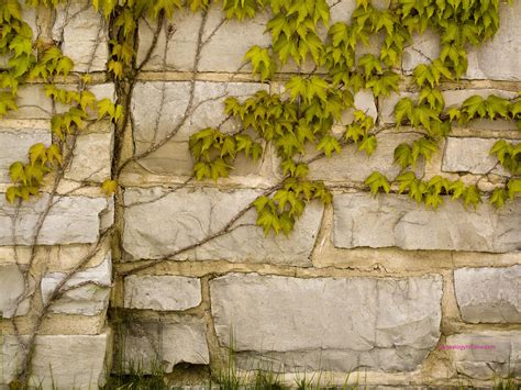vine wallpaper for walls free stone wall images page 6