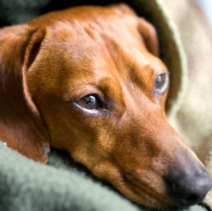 respiratory infection in dogs recognizing kennel cough kennel cough is an respiratory infection caused by