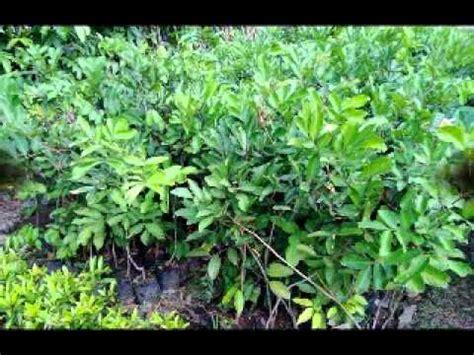 Bibit Rambutan Rapiah jual bibit rambutan di medan sumatera utara