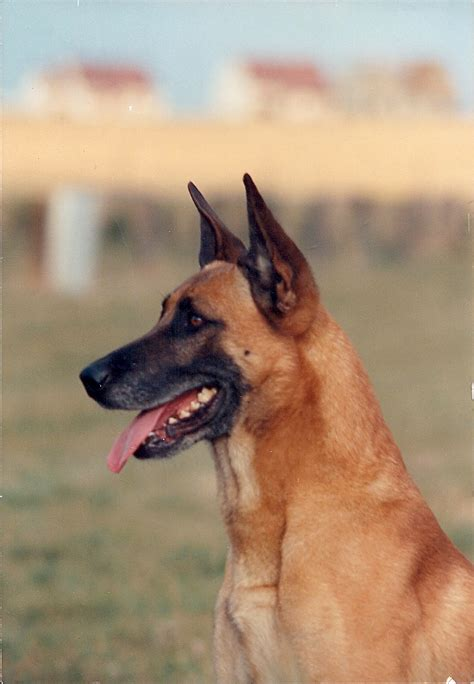 berger le berger malinois pictures