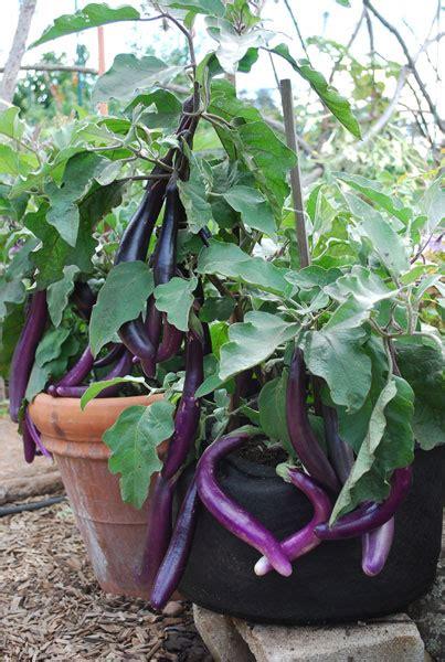 eggplant in container garden growing eggplants in pots house throneroom