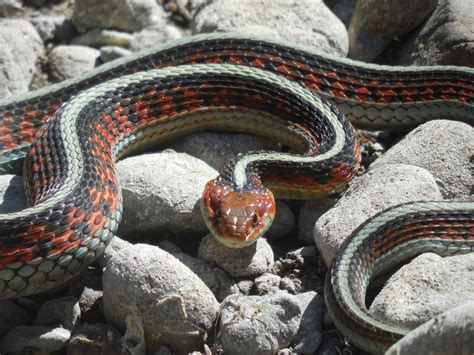 Garter Snake Pics Baby Garter Snake Pics Wallpaper