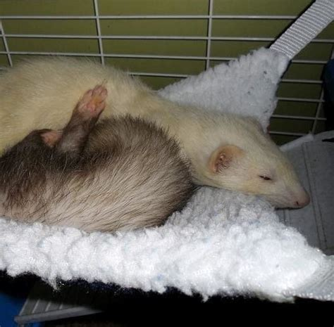 ferret beds ferret hammock 183 a pet bed 183 sewing on cut out keep