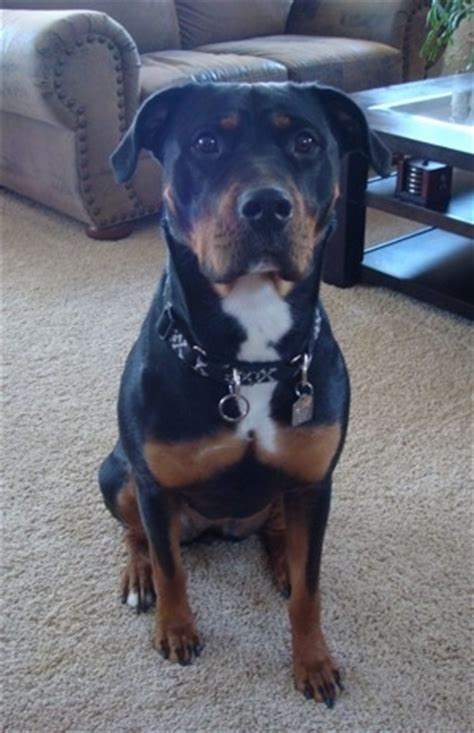 pitbull and rottweiler mixed pittweiler breed information and pictures