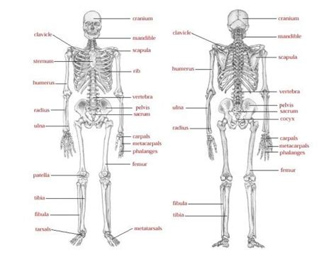 game of bones bone skeleton says just like simon says except use words such as femur and mandible and kids have
