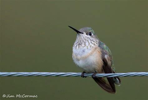 calliope hummingbird in central ohio