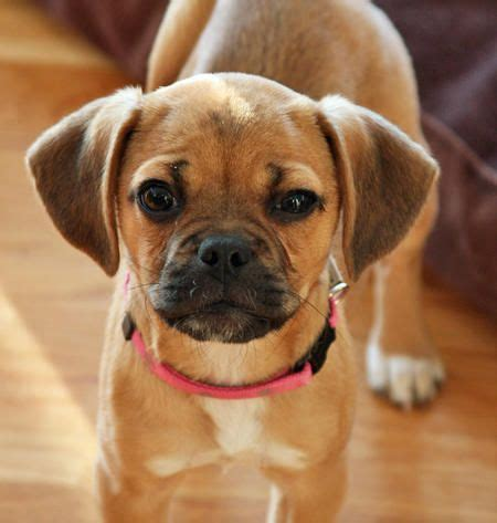 puggle pomeranian mix 25 best ideas about pug beagle mix on puggle puppies boxer beagle mix
