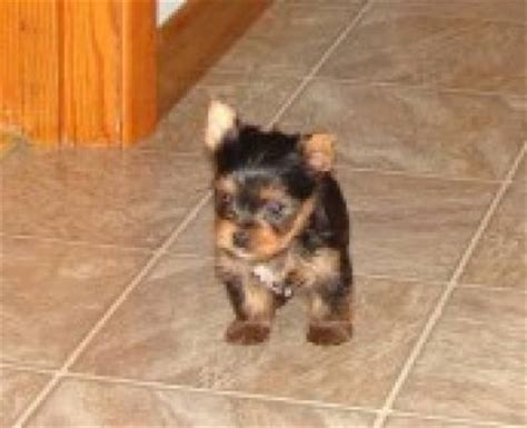 yorkie puppies for sale in fargo nd german shepherd puppies for sale in fargo dakota breeds picture
