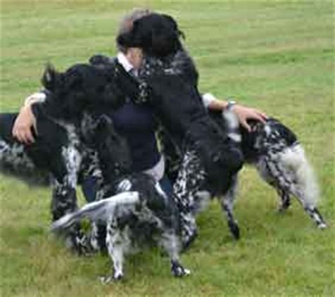 large munsterlander puppies large munsterlanders and german shepherd dogs