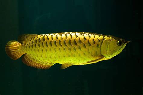 Bibit Arwana Golden Pino vela arowana mega gallery jenis jenis ikan arwana