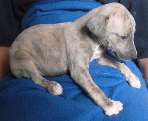 low allergy dogs for sale whippet puppies