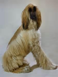 afgan arabian hair cuts file afghan hound3 jpg wikimedia commons