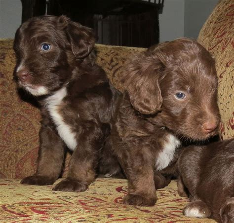 puppies for sale wa chocolate australian labradoodle puppies for sale washington state breeds picture