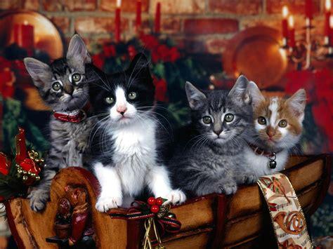 christmas kitties sarahplove wallpaper  fanpop