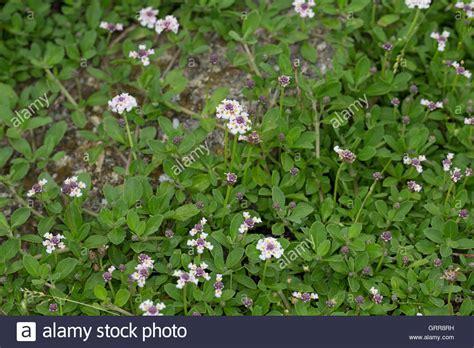 teppich verbene sawtooth fogfruit stockfotos sawtooth fogfruit bilder