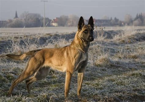 Design Black And White Malinoi Posierender Malinoi Andreas Henzgen Flickr