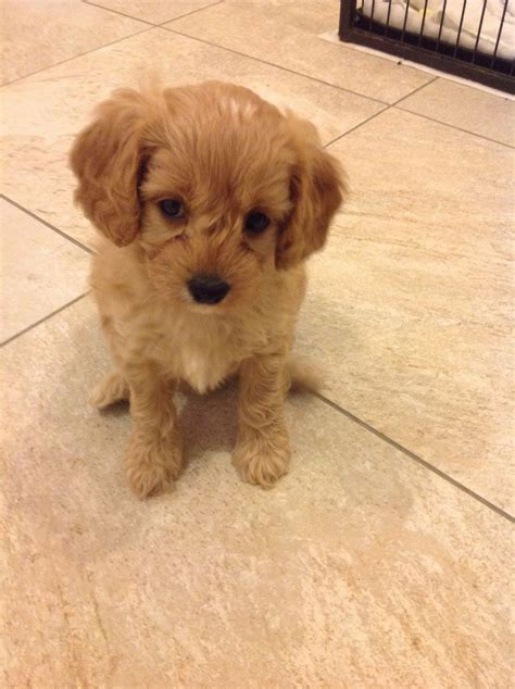 cavapoo puppies for sale teacup cavapoo puppies for sale breeds picture