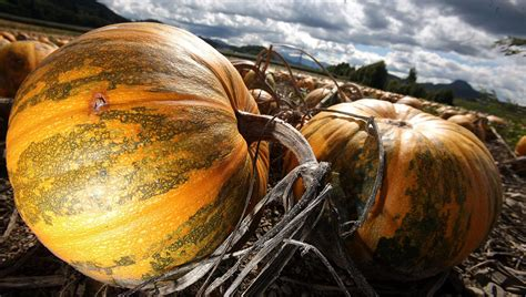 is pumpkin a vegetable fruit or plant heavy com