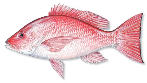 Snapper Images