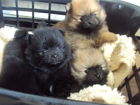 pomeranian puppies for sale pictures and photos 1 rescue a pomeranian pomeranian