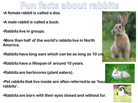 7 Facts On Bunny Rabbits by Rabbit Facts Sheet By Misspkaur Teaching Resources Tes