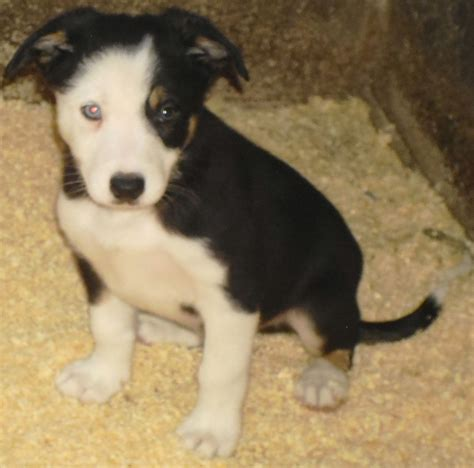 border collie puppies for sale in wisconsin border collie mix puppies for sale in wisconsin images