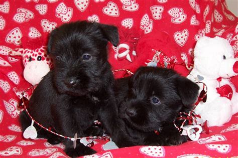 standard schnauzer puppies puppies for sale schnauzer standard standard schnauzers f category in
