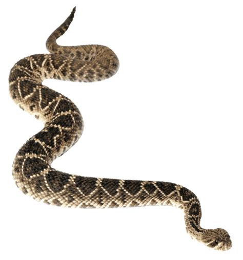 rattlesnake clipart diamondback rattlesnake clipart clipart suggest