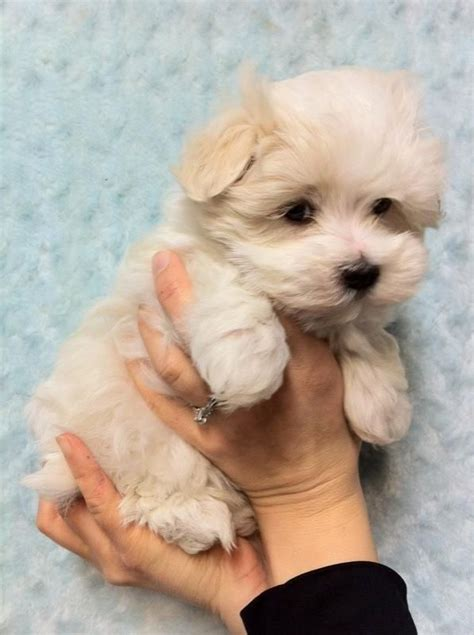 havanese mix puppies for sale havamalt havanese and maltese mix how adorable add the yorkie and that is cooper