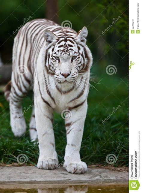 imagenes tigre blanco bengala tigre de bengala blanco im 225 genes de archivo libres de