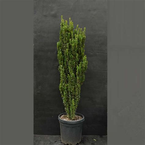 ilex woodworking buy ilex crenata fastigiata box leaved 1 0 1 25
