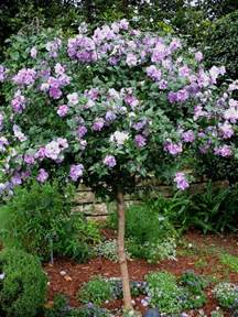 garten hibiskus schneiden plant guide hibiscus syriacus ardens purple