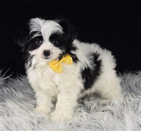 malti pom puppies for sale maltipom puppy for sale bowie puppies for sale in pa nj ny