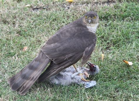 what do sprallow hawks eat february 2015 norfolk nature diary
