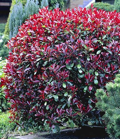 Photinia Fraseri Robin 17 by 17 Best Ideas About Photinia Robin On