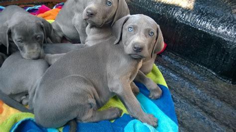 blue weimaraner puppies for sale blue weimaraner puppies for sale east rand dogs and puppies 62942986 junk
