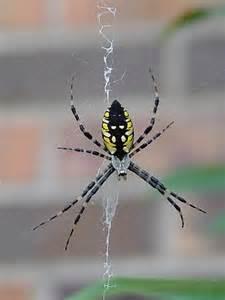 Garden Spider Are They Poisonous Black Yellow Argiope Argiope Aurantia Argiope
