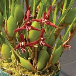 Decorate My Home coconut orchid maxillaria tenuifolia