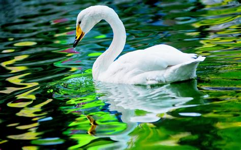 Home Interior Design Hd Wallpapers by White Swan In Water Beautiful Bird Wallpaper Hd