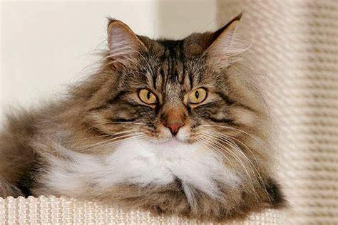 ruhige katzenrassen wohnung gro 223 e katzenrassen 220 bersicht und viele bilder