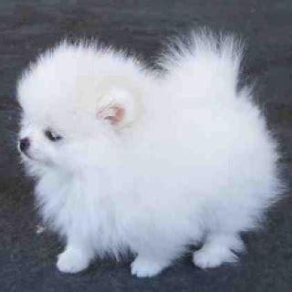 i want a pomeranian best 25 pomeranian ideas on pomeranian puppy teacup dogs and